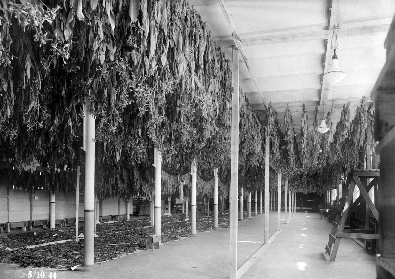 ØFB.1983-00837 Tørking av tobakksblader i papirsal 1 på Borregaard, fotografert 5. oktober 1944. Fotograf ukjent / Østfold fylkes billedarkiv (Borregaard-samlingen)
