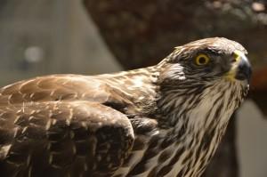 Rovfugl fra skogen (Foto: D. Nævdal)
